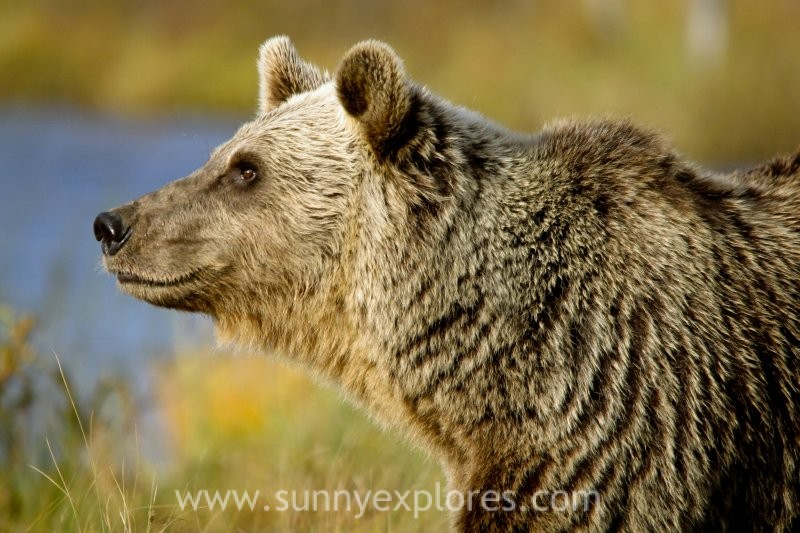 In search of the majestic brown bear: an expedition in Finland
