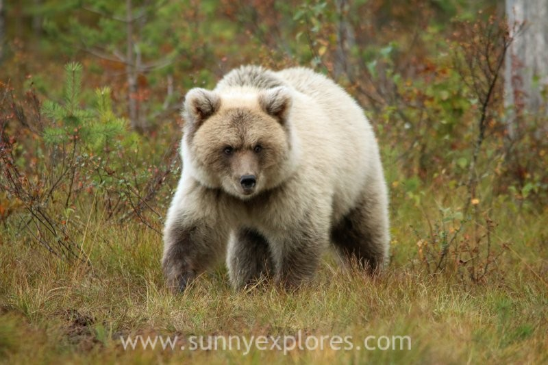 A close encounter in Finland, the White Spirit Bear