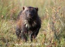 Wildlife adventures: meeting the elusive wolverine in Finland