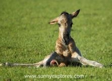 Witnessing the birth of a wild foal
